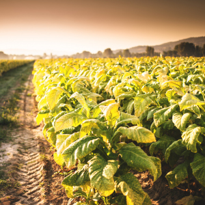 Supporting the tobacco supply chain